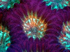 Live coral Goniastrea sp., known as green brain coral. One full polyp in the center is shown with four surrounding polyps. Walled corallites are purple.