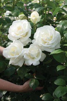 """Bom dia! Começando esse belo dia com jardins deslumbrantes... Obrigada por visitar o blog. """"O fundo verde e flores brancas Ontem..."""