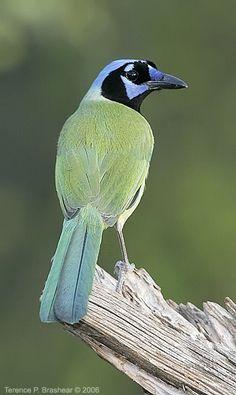 Green Jay (Cyanocorax yncas) is a bird species of the New World jays.