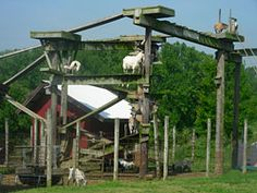Goat playground from USA - where people can visit a farm and buy feed for the goats and wander underneath their play area.  #goatvet loves this