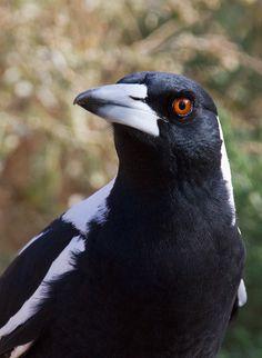 White-backed magpie (Gymnorhina tibicen) a.k.a. Australian Magpie