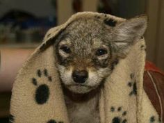 ☆ Wolf pup :¦: Photo By: Toronto Wildlife Centre (TWC) ☆