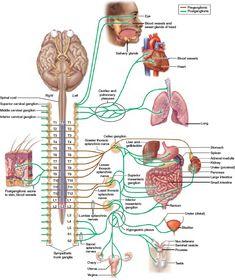 Cranial Nerves Anatomy, Nerve Anatomy, Brain Anatomy, Medical Anatomy, Body Anatomy, Anatomy And Physiology, Spinal Cord Anatomy, Jesus Ama, Massage Therapy School