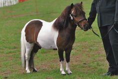 Australian Miniature Pony