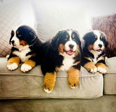 Meg, Dia and Mia- Gran was not amused. But they´re soooo cute! Cute Puppies, Cute Dogs, Dogs And Puppies, Doggies, Unique Dog Breeds, Best Dog Breeds, Entlebucher, Bernese Dog, Dog Breeds Little
