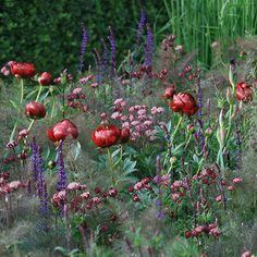 Paeonia 'Buckeye Belle', Salvia nemorosa, Foneiclum vulare 'Giant Bronze, Astrantia major 'Claret'