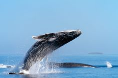 Photo album	 Humpback whales flying
