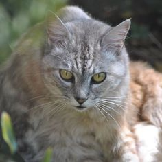 Luna, staring me down... 1/3    #luna #cat #cats #pet #petstagram #nature #kitten #kittens #catstagram #cutie #pets #kitty #catlovers #catsofinstagram #animal #sweet #funpetlove #catlover #ilovemycat #ilovemypet #instapets #petsagram #picpets #instacat #love #music #faces #coffee