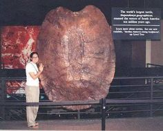 Fossil of the largest freshwater prehistoric turtle. Fossil of the largest freshwater prehistoric turtle. Prehistoric World, Prehistoric Creatures, Reptiles And Amphibians, Mammals, Dinosaur Fossils, Dinosaur Crafts, Dinosaur Bones, Extinct Animals, Tortoises