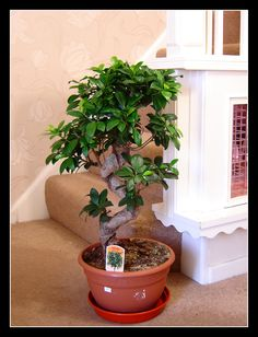 1 Large Ficus Benjamina Weeping Fig Tree S Shape Bonsai Evergreen Indoor Plant | eBay