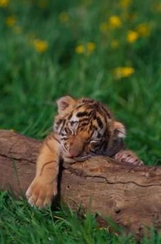 YAWN! Sumantran tiger cub from the Taronga Zoo | Dream Job <3 ...