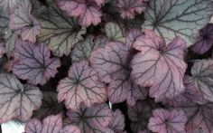 Vienna is a Heuchera selection that forms a compact dense mound of rounded leaves in rose to rose-orange with a light overlay of silver. Sprays of small rose-pink bell flowers rise above mounds of foliage on short stems in June and continue throughout the Shade Garden, Garden Plants, Indoor Plants, Coral Bells Heuchera, Buy Plants Online, Plant Catalogs, Backyard Makeover, Small Rose, Shrubs