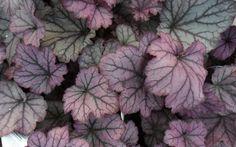 Spellbound Heuchera - Coral Bells - from gardenerdirect.com