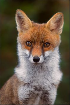 With Fox medicine you know instantly what will happen next. After observing for a while, you will become aware of a certain predictability in given situations and be able to quickly make your move.