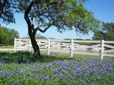 Burnet County - bluebonnets