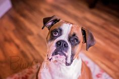 Boxer #boxer #dogs #cute