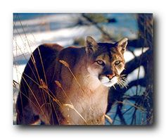 Absolutely Amazing! This beautiful wall poster adds a unique style to your room setting and goes with all decor style. This poster displays the image of wild Cougar standing in a snow field looking at something with his big brown eyes is sure to attract lot of attention. This wonderful poster will add a charming character into your home and it is perfect for someone who loves wild animals and inspired by the natural beauty.