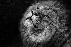 Kissan, Lion, Kellanruskea