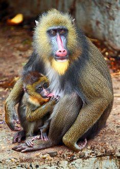 mandril artis IMG_0205 | safi kok | Flickr Nature Animals, Animals And Pets, Cute Animals, Wild Animals Pictures, Animal Pictures, Beautiful Creatures, Animals Beautiful, Monkey Species, Types Of Monkeys