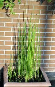 Image result for Equisetum hyemale