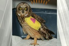 #Give a hoot, help an owl found injured in Colwood - CHEK: CHEK Give a hoot, help an owl found injured in Colwood CHEK A short-eared owl…