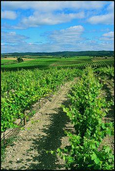 vineyard | by Cortes de Cima