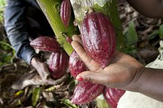 Smallholder farms in Cameroon that grow cacao are said to be contributing to the reforestation of Central Africa's rain forests.