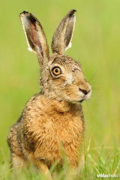 Portret van Haas March Hare, Jack Rabbit, Polar Bears, Animal Paintings, Rabbits, Wildlife, Bunny, Amazing, Nature