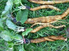 Burdock Root:This herb is used to treat infections, and is especially good for rat bites. Slippery Elm, Warrior Cats, Salvia, Pepsi, Garden Tools, Herbalism, Herbs, Vegetables, Health