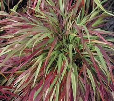 Hakone Grass'Beni Kaze'  Japenese Forest Grass is invasive, so pot it.  It provides great color and texture on the patio.  But it is not hardy, so put it in a protected place in the winter.