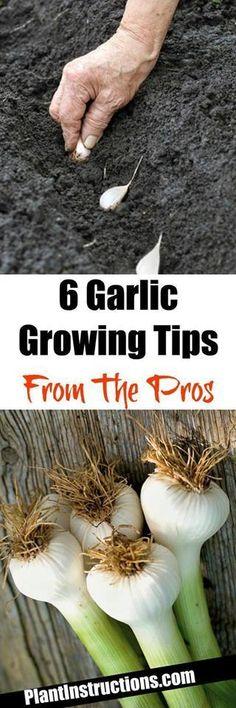 How to plant and harvest garlic Organic_Gardening - cakerecipespins. Olive Garden, Veg Garden, Fruit Garden, Edible Garden, Vegetable Gardening, Veggie Gardens, Garden Plants, Growing Herbs, Growing Vegetables