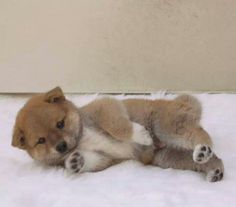 This fox-like dog is the intelligent (and now hilarious) Shiba Inu. Japanese Dog Breeds, Japanese Dogs, Cute Puppies, Cute Dogs, Dogs And Puppies, Doggies, Sweet Dogs, Australian Shepherd Dogs, Cute Puppy Pictures