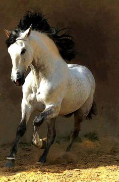 ♞ Andalusian horse - One of my favourite breeds Most Beautiful Animals, Beautiful Horses, Beautiful Creatures, Horse Photos, Horse Pictures, Andalusian Horse, Horse Galloping, Buckskin Horses, Friesian Horse