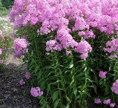 Phlox paniculata 'Shortwood' 1 flower