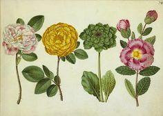 Hans Simon Holtzbecker Botanical Drawing 1660