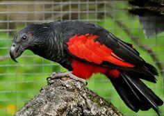 Natureza, Perfeição sem tamanho... - Papagaio de Pesquet - Psittrichas fulgidus - Endêmico da Nova Guiné