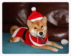 Kimiko Shiba Inu On Pinterest Shiba Inu Dog Cartoons