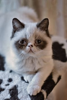 Persian or Exotic Shorthair -- I can't quite make out the length of the coat.
