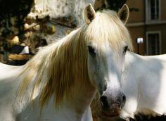 Cheval à la robe grise, typique de la Camargue Le Gard, Pont Du Gard, Horses, Animals, Tourism, Horse, Landscape, Animales, Animaux