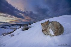 Sunset Slumber by Jess Findlay.  This past winter I had the privilege of spending an amazing evening with a Coyote in the mountains of Montana, USA. While snowshoeing through a valley, this incredibly inquisitive and trusting canine approached me without hesitation. As darkness approached, the Coyote fell into a peaceful doze and the storm clouds broke, revealing a colourful sunset. Just in time for the shot, one last peek at the strange, camera wielding animal before a long, cold night.