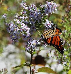 Monarch Butterfly on Wild Asters Lindbergh, Monarch Butterfly, National Geographic Photos, Your Shot, Amazing Photography, Shots