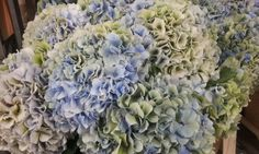 #Hydrangea #Hortensia #VendettaClassic ; Available at www.barendsen.nl