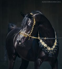 GORGEOUS ARABIAN STALLION  Love the halter and breastplate