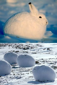 ARCTIC HARES - Arctic hares look like rabbits but have shorter ears, can stand up taller, and can live in colder places. They live in the tundra regions of Greenland and the northernmost parts of Canada. They dig holes under the ground or snow to keep warm and sleep. The arctic hare can run up to 40 mph. The young are relatively mature and mobile from the moment of birth. Those that live more south have brown or gray fur in the summer.