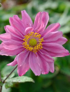 Deep pink, semi-double flowers are balanced on well-branched deep red stems above a clump of mid-green vine-shaped leaves. Good for smaller gardens Shade Garden, Garden Plants, Claire Austin, Wood Anemone, Japanese Anemone, Shade Plants, Types Of Flowers, Flower Pictures, Small Gardens