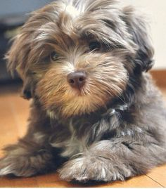 Check Out Havanese Memes Havanese Charakter Source by ameersellers The post Havanese Charakter appeared first on Daisy Dog Home. Cute Dogs And Puppies, Baby Dogs, I Love Dogs, Pet Dogs, Doggies, Bichon Havanais, Havanese Puppies, Biewer Yorkie, Cavapoo