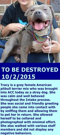 SAFE 10-4-2015 –––  Brooklyn Center-P  My name is TRACY. My Animal ID # is A1052751. I am a female gray and white am pit bull ter mix. The shelter thinks I am about 2 YEARS old.  I came in the shelter as a STRAY on 09/25/2015 from NY 11207, owner surrender reason stated was STRAY. http://nycdogs.urgentpodr.org/tracy-a1052751/