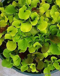 Planting lettuce and salad greens? Here are a few tips. Plus, good varieties to consider...