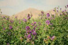 Field of purple flowers in bloom.