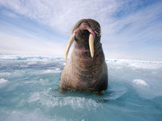 See a picture of an Atlantic walrus bull resting in Canada by Paul Nicklen and download wallpaper from National Geographic.